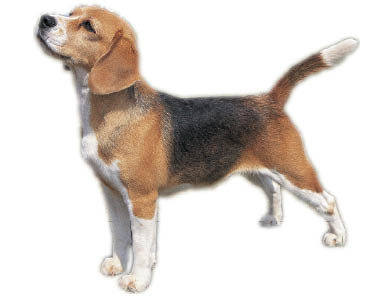 01_Beagle_Profile